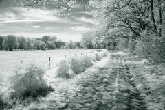 Dreamworld (Frank ) Tags: infrared ir cokin filter europe frnk sony landscape dream dreamy dreamworld limburg holland field meadow farm agriculture grass cows animals yard hollow road backway byway spring summer leaves tritone