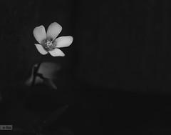 e-lias-58 (e-lias hun) Tags: flower d3100 helios44m4 macro closeup nature elias bw