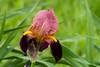 Iris japonica (ivanskorikov) Tags: iris red bloodred msu moscow nature