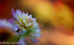 Happy Morning (frederic.gombert) Tags: flower color colors colorful sun sunrise sunset red orange dahlia plant macro garden bloom blooming blossom spring summer nikon d810