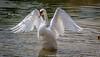 Swan-0013.jpg (vorneo) Tags: bird swan familyanatidae kingdomanimalia orderanseriformes classaves wild genuscygnus phylumchordata binomialnamecygnusolor wildbird speciescolor muteswan