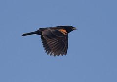 rwbl-sy-m-easterncimarronco-6-10-17-tl-01-cropscreen (pomarinejaeger) Tags: keyes oklahoma unitedstates bird redwingedblackbird agelaiusphoeniceus