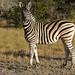 DSC07220 - NAMIBIA 2017  Steppenzebra