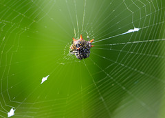 CRAB-LIKE SPINY ORB WEAVER (concep1941) Tags: spiders webs arachnida woodlandedges shrubbygardensarachnida invertebrates
