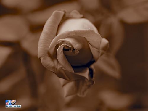 Rose Fun