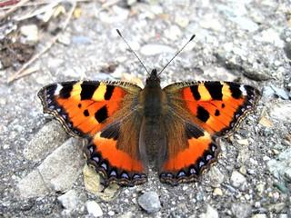 Butterfly 1331