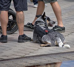 Rest Stop (swong95765) Tags: dog canine animal pet rest alert cute servicedog trained