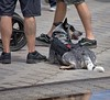 Rest Stop (Scott 97006) Tags: dog canine animal pet rest alert cute servicedog trained