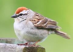 chipping sparrow at Seed Saver's Exchange IA 854A7101 (lreis_naturalist) Tags: chipping sparrow seed savers exchange winneshiek county iowa larry reis