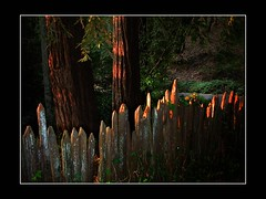 Redwood Trees & Fence (clyde_95482) Tags: redwoods