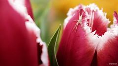 #photography #canon700d #istanbul #bahar #spring #flowers #flower #snapseed  #çiçek #colorofspring #colourful #red #spider #örümcek (oppeslife) Tags: çiçek snapseed colourful flower photography bahar colorofspring red spring canon700d spider örümcek istanbul flowers