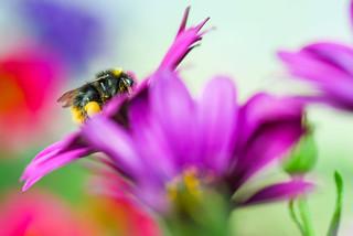 Biene und Kapmargerite