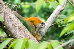 Squirrel Monkey in the Morning (C McCann) Tags: squirrel monkey monkeys animals primate animal costarica squirrelmonkey monotiti manuelantonio costaverde
