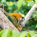 Squirrel Monkey in the Morning (C McCann) Tags: squirrel monkey monkeys animals primate animal costarica squirrelmonkey monotiti manuelantonio costaverde