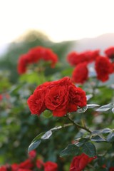 Red passion (Michela Franzoni1) Tags: roses flower flowers red nature italy natura rose canon canon300d bokeh fiore spring primavera giardino