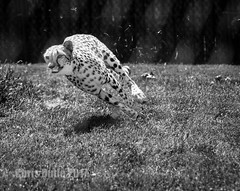 DSC04014 (montusurf) Tags: cheetah cat predator fast speed black white cincinnati zoo ohio