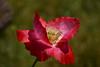 20170520_222_2 (まさちゃん) Tags: ポピー くりはま花の国 雌蕊 雄蕊 雌しべ 雄しべ
