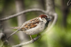 Waiting for the Rain (flashfix) Tags: may252017 2017inphotos ottawa ontario canada canon canoneos5dmarkii 5dmarkii bokeh nature mothernature 100mm400mm sparrow passeridae bird tree portrait birdphotography animal housesparrow flashfix flashfixphotography
