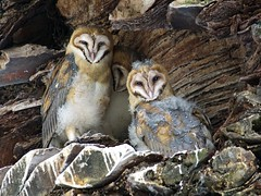 Barn Owlets in nest (vnelson) Tags: birds owls nests