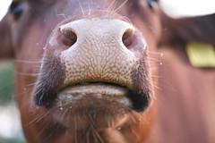 Kiss me baby ! (Jojorei) Tags: kuh cow kiss wet feucht brown braun liebe amore amour love kuessen kuss klimt art kunst batur tiere animals design nose nase haut haare hairy lips lippen bart beard