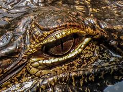 Alligator Eye (backyardzoo) Tags: alligator eyes