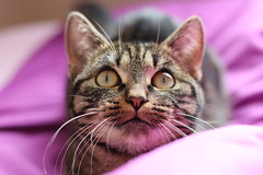 Nessie (E&T - Photography) Tags: canon eos 80d 50mm cat animal netherlands nederland holland kat eyes staring expression purple background detail macro domestic house shorthair pet closeup striped nose et portrait