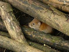Bank vole (Deanne Wildsmith) Tags: staffordshire wolseleynaturecentre bankvole vole