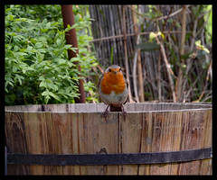 Robin Redbreast (Laineyb93) Tags: nature britishbirds missingfeathers plantpot ruffled feathers brown red robin redbreast gardenbird nikond7000