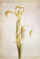 The Dance is Over (tina777) Tags: dance over flower yellow iris garden stem petals leaves dying ballet ballerina dancer photoshop elemets 13 ononesoftware texture fujifilmxt10 vale glamorgan wales