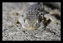 Geco (demetrioporro) Tags: natura rettili geco