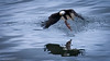 Bald Eagle - Prince Rupert, British Columbia (Sharon's Nature) Tags: canada princerupert may2017 inflight catchingfish britishcolumbia adult haliaeetusleucocephalus baldeagle