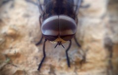 Look Into My Eyes Vol 2 (Mobile Macrographer) Tags: mobile macrographer macro close up smartphone photography phone fly lgg4 ngc cc bali ubud outdoors insects bug indonesia nature