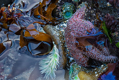 Intertidal (yachatsrena) Tags: tidepools underwater seastars anemones sealife coastal rocky beach oregoncoast strawberryhillwayside yachats ocean wildlife nature kelp