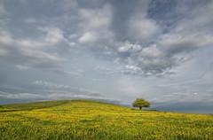 Alone in the buttercups (grbush) Tags: tree lonetree minimalism minimalist pitstone pitstonehill buttercups hill chilterns chilternhills buckinghamshire summer yellow grass sky clouds sonyslta77 tokinaatx116prodxaf1116mmf28