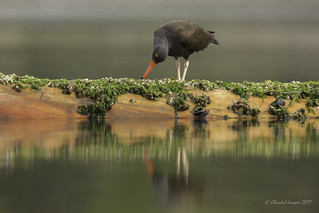 A time to reflect- Black Oystercatcher Style