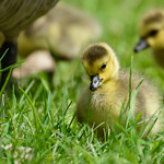 Canada gosling fighting with a blade of grass thumbnail