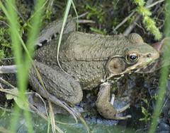 Green Frog, Garden of The Gods Wilderness, IL_1 (Ranger Robb) Tags: gardenofthegodsillinois shawneenationalforest nature