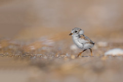 Piping Plover Chick (nikunj.m.patel) Tags: pipingplover plover chick cute nature wildlife photography birds avian migration spring summer nesting nikon d500 outdoor beach shore