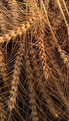 Gold (amrelshazly535) Tags: nature field crop agriculture golden yellow wheat