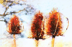 Teasels (sbox) Tags: watercolor watercolour teasels digitalwatercolour painting painterly declanod sbox