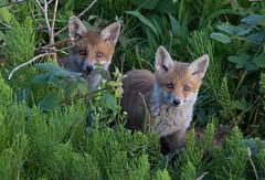 Fox Cubs, Vulpes vulpes (michael.smith86) Tags: foxcubs vulpesvulpes sigmacontemporary canon7dmk2 150600mm flamborough eastridingofyorkshire staringeyes cute young redfox