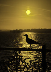 seagull sunbathing in the light (sussexscorpio) Tags: westpier beach brighton eastsussex pier seafront sussex bird light sea seagull seashore silhouette sun sunlight sunset water golden goldenhour coast coastal railings seaside sunbathe sunbathing palacepier gold colour yellow monochrome brightonpier canon canon80d gull