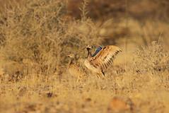 Rueppell's Bustard, Solitaire, Namibia October 2014 (Sterna999) Tags: heterotetraxrueppelii rüppellskorhaan rüppellsbustard rueppellsbustard droprüppellův rüppelltrappe namibtrappe sisóndedamaraland namibiantrappi outardederüppell otardadirüppell konodoguroshounogan コノドグロショウノガン rüppellstrap dropiknamibijski abetardaderüppell малаядрофарупеля dropkorhan namibtrapp 鲁氏鸨 namibia südafrika afrika africa solitaire weltewrede