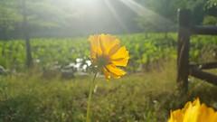20170603_180429 (sagaracokr) Tags: 투영 투명 꽃 노란 가을 여름 겨울 봄