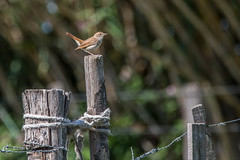 Fence ..... Common nightingale (dave_poth) Tags:
