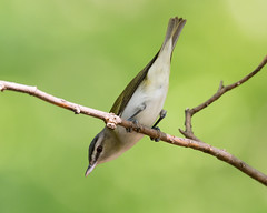 Streamlined... (ragtops2000) Tags: migratory song redeyedvireo small warblerlike streamlined pose portrait downward forest fontenelle trees branch migrant eye red spring nebraska eastern perched