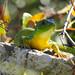 Balkan green lizard - Parga