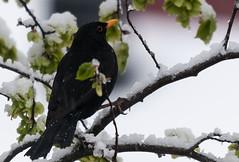 Snowy Spring (PuffinArt) Tags: noruega melro blackbird black yellowbeak snow neve birdintree nikon d300 sigma 120400 os vandamalvig puffinart
