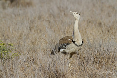 Australian Bustard (Ardeotis australis) (Ian Colley Photography) Tags: australianbustard ardeotisaustralis charterstowers queensland bird 500mm