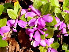 Fringed Polygala, Polygala paucifolia (10) (Herman Giethoorn) Tags: polygala wildflower flower
